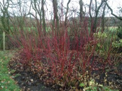 Cornus stems in Winter