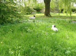 Sheep in the Meadow (2)