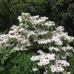Viburnum Tomentosum
